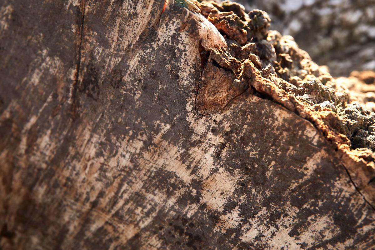 close-up photo of ash tree log